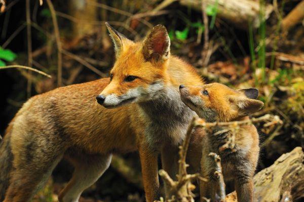 Image d'illustration de renards en liberté