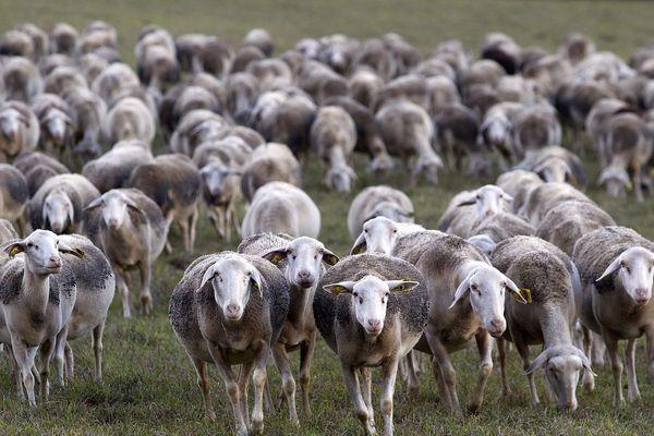 Un troupeau de brebis sur le plateau du Larzac