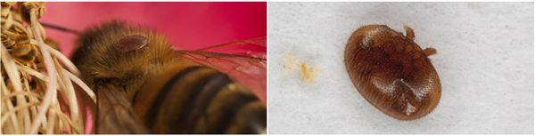 Photo de gauche : La femelle varroa se loge sur le dos de l'insecte et se nourrit par piqûre de l'hémolymphe des abeilles. Photo de droite : un Varroa destructor.