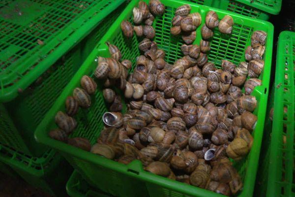 Installée à Senillé-St-Sauveur dans la Vienne, Corinne Lhoste élève actuellement 250.000 escargots destinés à être vendus pour la consommation.