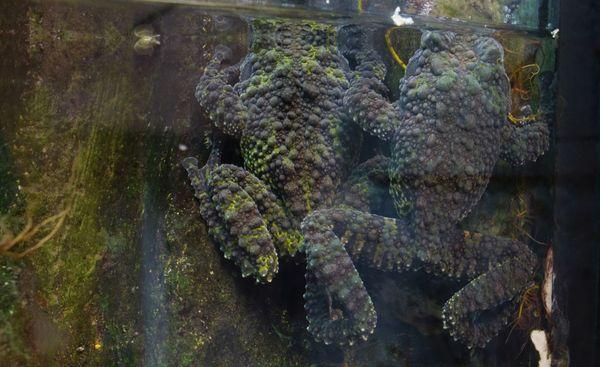 La grenouille mousse a modifié son apparence pour se dissimuler sur les rochers.