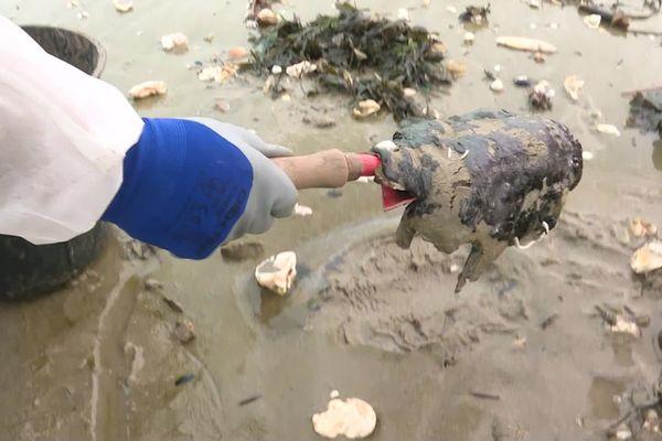 Ramassage de galettes d'hydrocarbures trouvées sur la plage de Pont-Mahé, avec équipements de protection.
