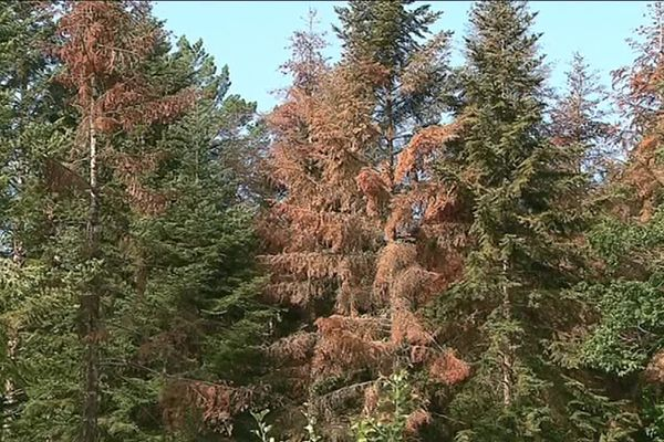 Certains arbres meurent à cause du manque d'eau.