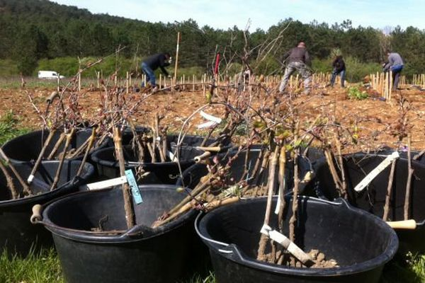 Pendant deux ans, 52 cépages anciens de Bourgogne seront plantés sur cette parcelle expérimentale.