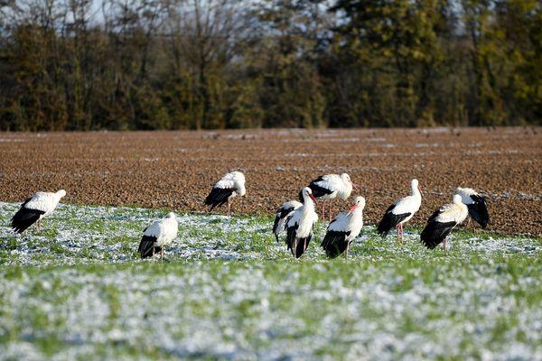 Plusieurs groupes de cigognes ont été aperçus ces derniers jours en Franche-comté, notamment dans le Doubs. (Photo d'illustration)