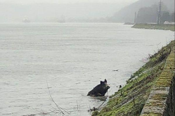 Un troupeau de sangliers a traversé la Seine à deux reprises, ce mercredi 13 janvier, près de Duclair (Seine-Maritime).