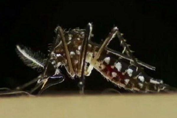 """Le moustique """"Aedes Aegypti"""", dit moustique-tigre"""