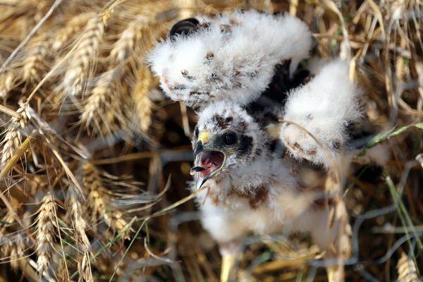 La LPO Auvergne utilise un drone pour repérer les nids des busards cendrés et les protéger.