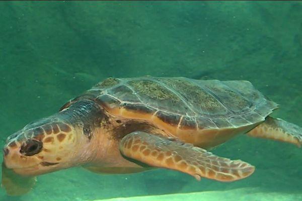 La tortue Caouanne, nouvelle pensionnaire de la Cité de la mer