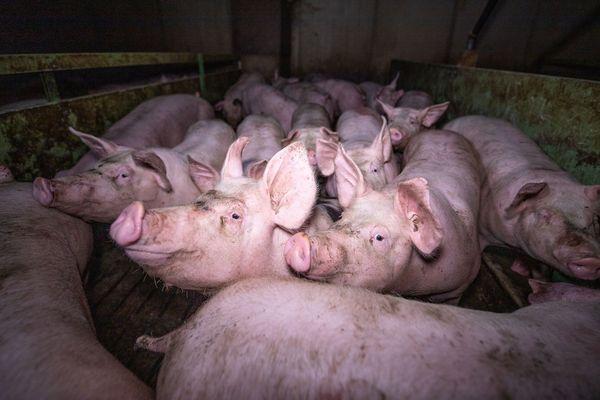 Des cochons entassés dans un élevage du Finistère, des conditions dénoncées par L214