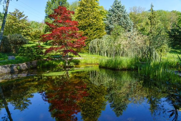 Un bel érable du Japon se reflète dans l'un des bassins du jardin