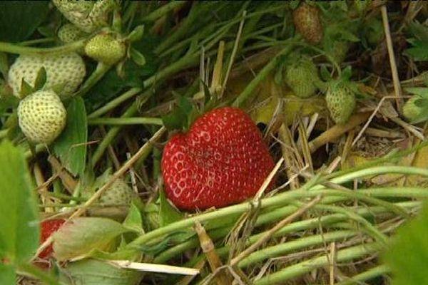La cueillette des fraises