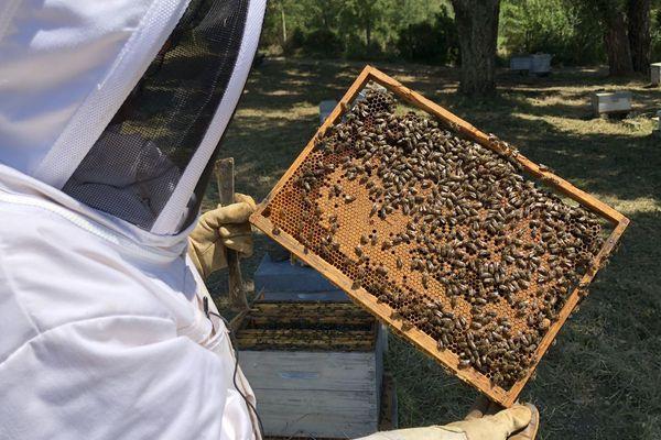 Depuis plusieurs années, les apiculteurs corses constatent une baisse de la production de miel et une surmortalité des abeilles.