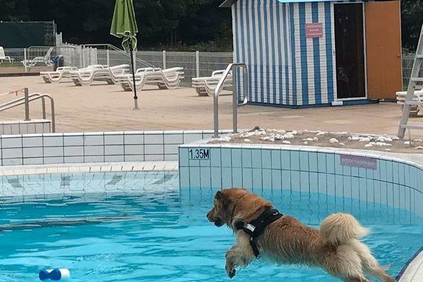 85 golden retriever s'en donneront à coeur joie le 4 septembre dans les piscines extérieures de l'Aquagliss.