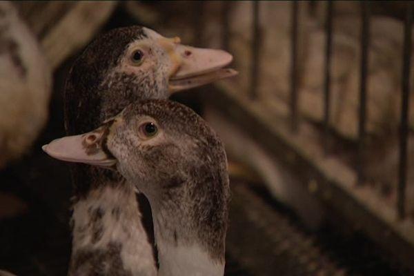 Les petits producteurs alsaciens peuvent profiter de la montée des prix, plus importantes, chez les industriels du foie gras, pour être plus concurrentiels pendant les fêtes de fin d'année.
