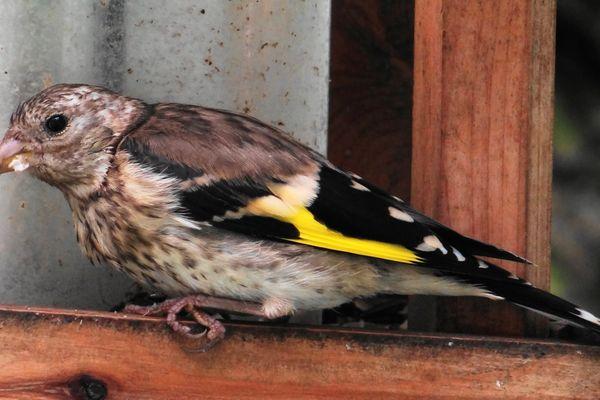 Le chardonneret élégant est un passereau qui, du fait de son utilité dans la nature, est protégé : sa détention, sa capture et sa vente sont interdits.