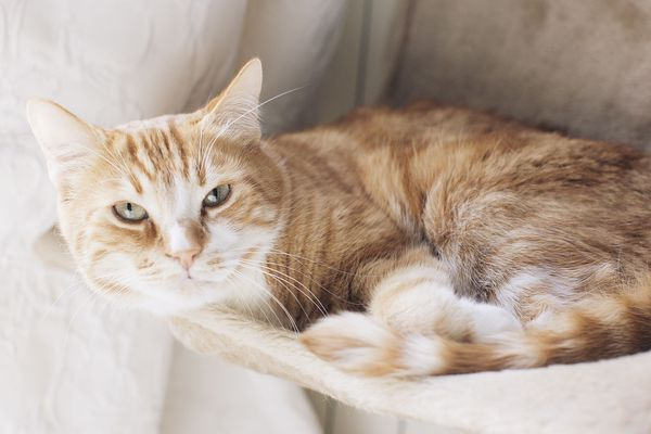 Un chat roux alangui sur un fauteuil - Photo d'illustration