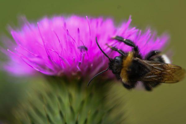 Un bourdon qui recueille le pollen de la fleur d'un chardon peut constituer une source d'inspiration pour un musicien.