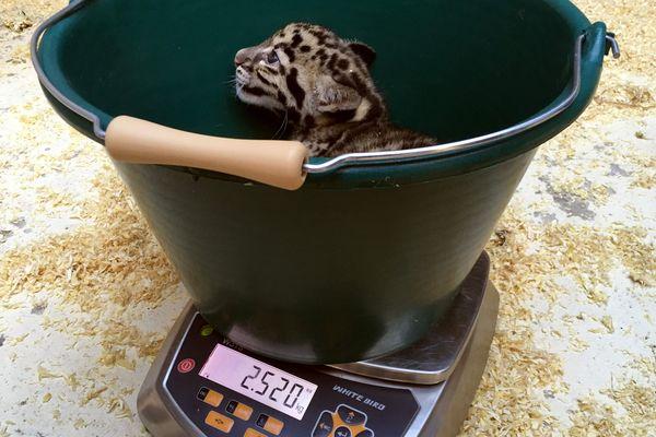 La pesée de Taïpei, l'un des 2 petits mâles panthère nébuleuse