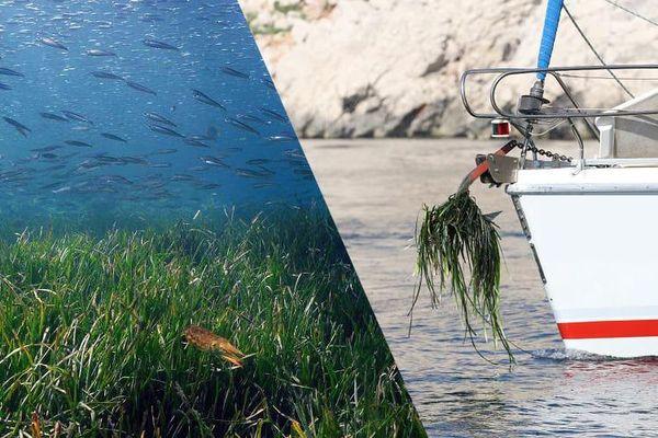 Les dégâts causés par les ancres des bateaux de plaisance dans les herbiers de posidonie, plante endémique de la Méditerranée.