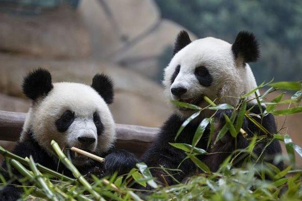 Les pandas du ZooParc de Beauval vont enfin revoir du monde