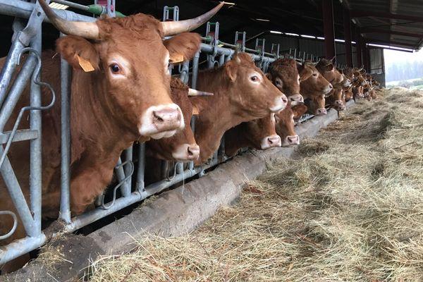 La famille Berthomier élève aussi 45 vaches allaitantes.