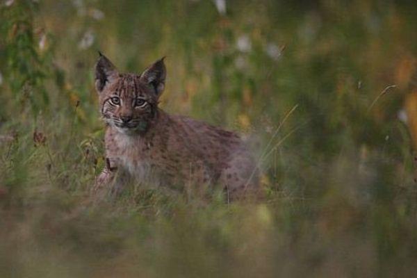 Une cage piège a été mise en place afin de capturer et sauver ces lynx orphelins. Sans succès pour le moment. Leur espérance de vie ne dépasse pas quinze jours.