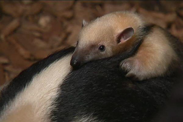 Ce petit fourmilier nain est le premier spécimen à être né en France, c'est un tamandua.