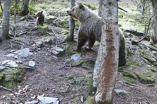 Une ourse et ses trois oursons ont été filmés par une caméra automatique posée par un père et ses deux enfants de 8 et 9 ans