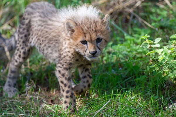 Bébé guépard né à l'été 2019 sur le parc animalier de la Réserve Africaine de Sigean (Aude)