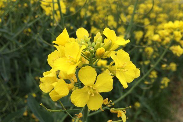 Une fleur de Colza dans un champ de Chauvigny (86)
