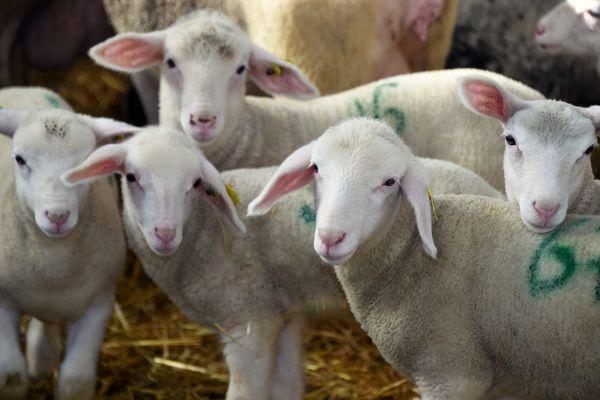 Inquiétude de la filière ovine pour commercialiser la viande d'agneau pour les fêtes de Pâques