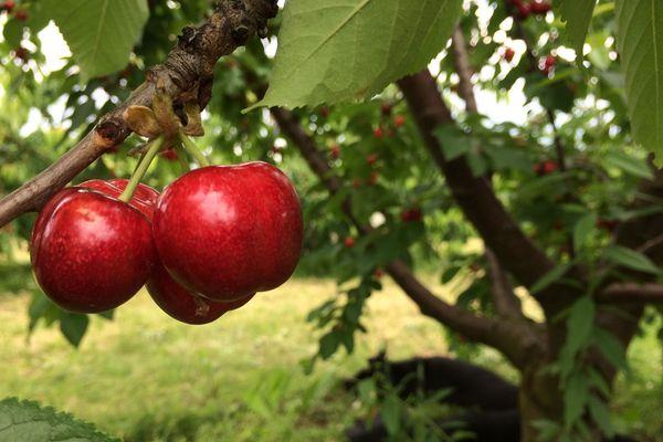 Les pluies incessantes nuisent à la récolte des cerises.