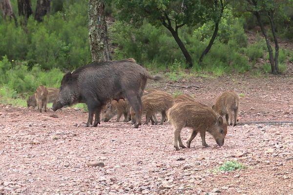 Une famille de sangliers qui ne semble pas dérangée par le retour des promeneurs.