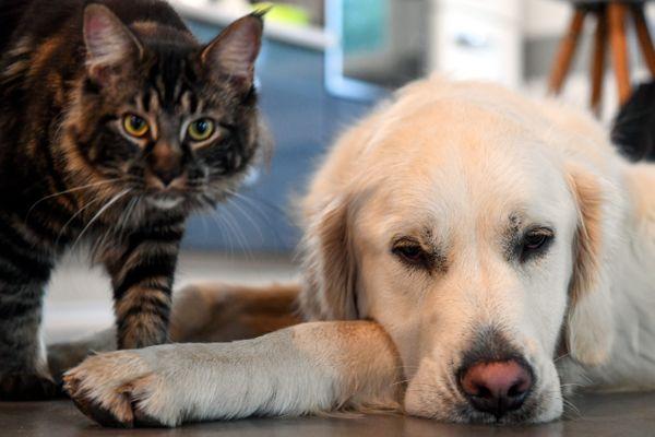 Certains animaux de compagnie, les chiens notamment, sont victimes du syndrome de l'hyper-attachement avec le confinement.