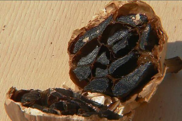 Populaire au Japon, l'ail noir est aussi produit dans le Nord, à Cuincy.
