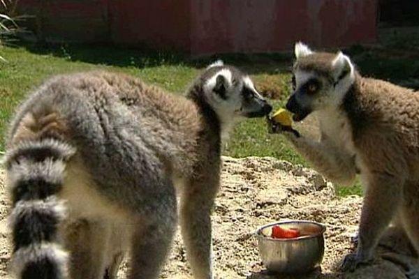 Pour s'assurer que les animaux s'hydratent suffisamment pendant les périodes de canicule, les soigneurs du parc zoologique de l'Auxois, en Côte-d'Or, ont recours à la technique du glaçon.