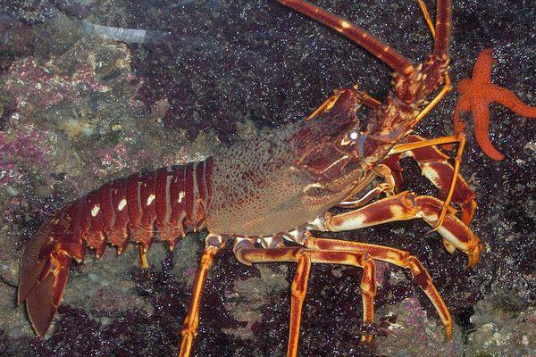 La langouste rouge était très abondante en mer d'Iroise