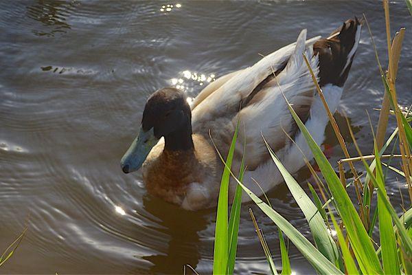 Les canards font partie des espèces sauvages qui peuvent contracter le botulisme (image d'illustration).