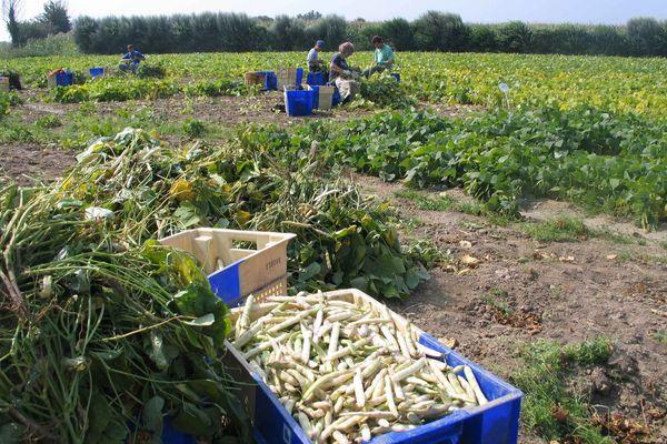 Le ramassage du coco de Paimpol intervient de mi-juillet à fin octobre