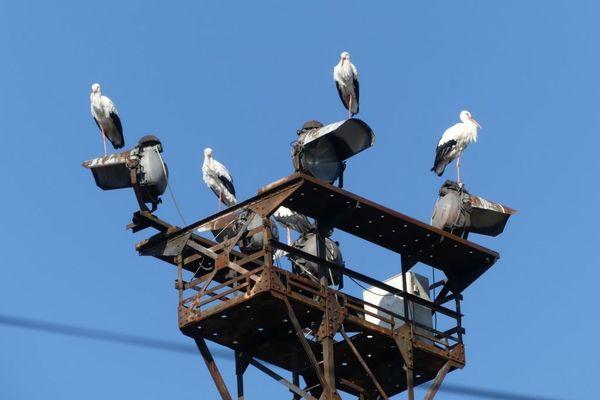 Les lampadaires SNCF de la rue Chasnot sont régulièrement choisies par des groupes de cigognes, pour passer la nuit, sur leur route vers l'Afrique
