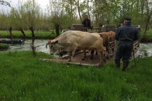 Une centaine de vaches rejoignent les pâturages du marais au printemps