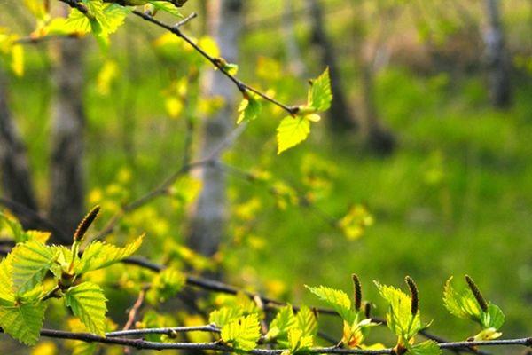 Avec les graminées et les cyprés, les bouleaux sont classés parmi les végétaux les plus allergisants