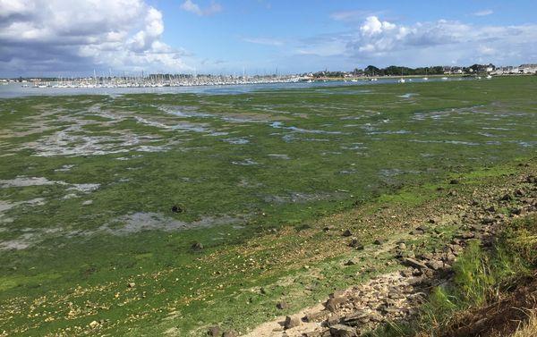 L'anse de Zanflamme, près du port de Lorient, voit régulièrement la prolifération d'algues vertes