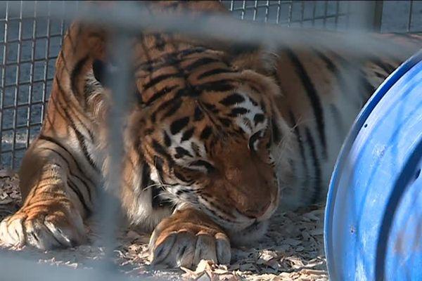 Un tigre dort jusqu'à 20 heures par jour