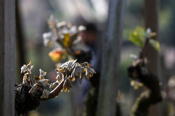 Un épisode de gel tardif avait ravagé vignobles et exploitations agricoles en Auvergne-Rhône-Alpes en avril 2021.