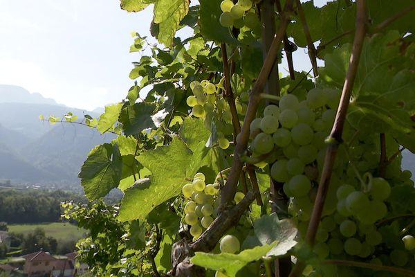 Les vendanges ont commencé avec un petit pu d'avance dans les pentes de la vallée de l'Arve, en Haute-Savoie.