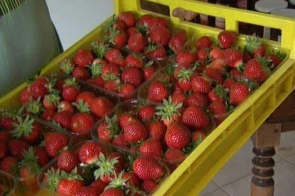 Les premières fraises de Picardie