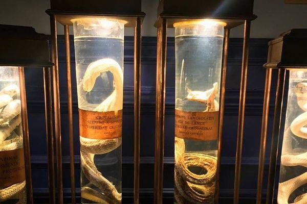 Des serpents venimeux étudiés par Calmette dans ses recherches sur le vaccin
