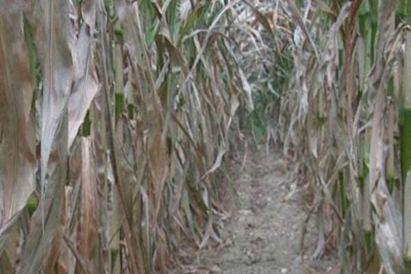 Le maïs a souffert du manque d'eau